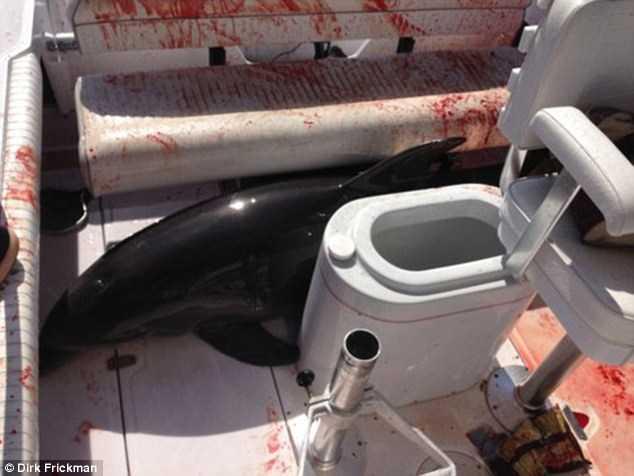 Con cá heo bị thương nặng khi làm loạn trên thuyền