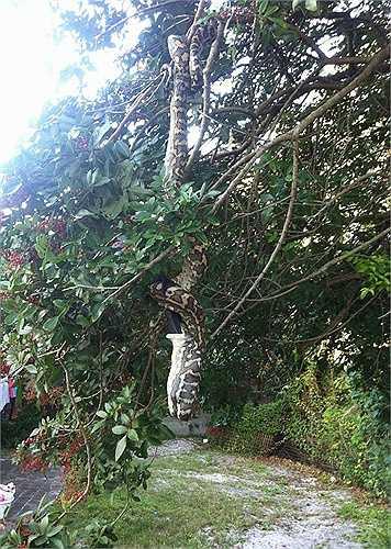 Khi nuốt gọn mồi, con trăn vẫn vắt vẻo trên cành cây, phần bụng phình ra và nhấp nhô vì bị cánh dơi dài đâm vào bụng