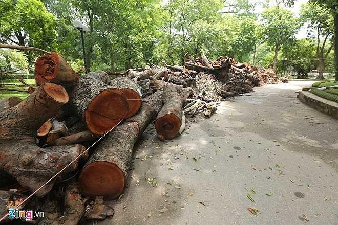 Hàng trăm thân cây, cành cây, gốc cây cổ thụ bị đổ do cơn mưa dông chiều 13/6 tại nhiều tuyến đường thủ đô được tập kết về công viên Bách Thảo chiếm gần hết lối đi.