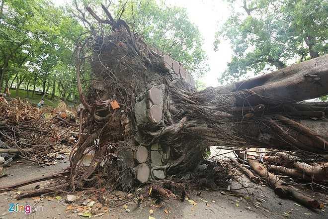 Một trong những cây bật gốc được cẩu nguyên trạng đem đến đặt tại công viên.