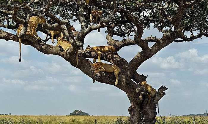 Mới đây, một nhiếp ảnh gia nghiệp dư đã chụp được ở ườn quốc gia Serengeti (Tanzania) hình ảnh hiếm thấy về đàn sư tử leo lên cây tránh nóng