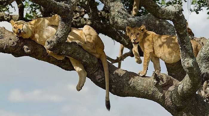 Nhiều người ngạc nhiên vốn dĩ sư tử chỉ sống trên mặt đất nhưng khi thấy bức ảnh mới thật sự giật mình về khả năng leo trèo