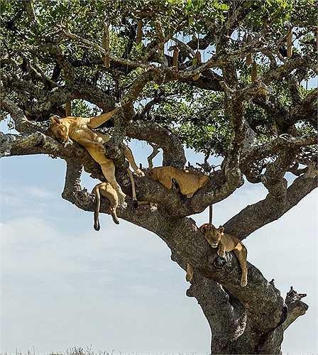 Đàn sư tử gần 10 con, nằm chênh vênh ở độ cao 6m so với mặt đất để tận hưởng bóng mát