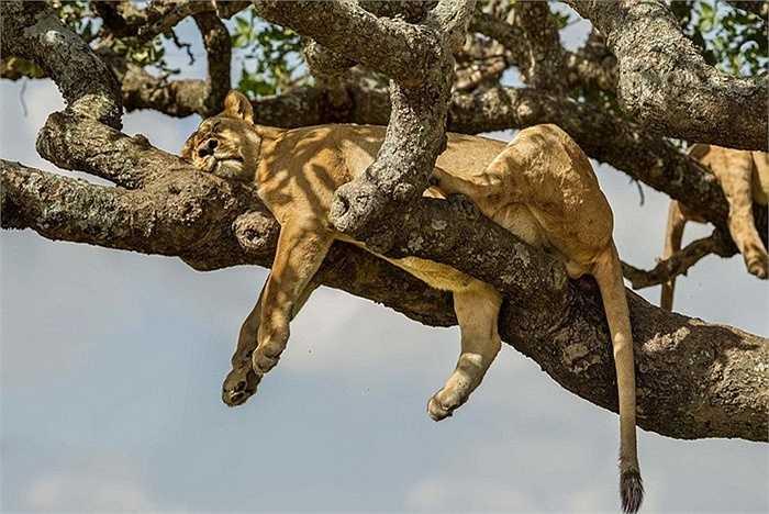 Mức nhiệt cao lên đến 32 độ C, khiến đàn sư tử phải tìm chỗ trú thân. Khi nằm trên cao cũng giúp chúng quan sát được con mồi và xung quanh