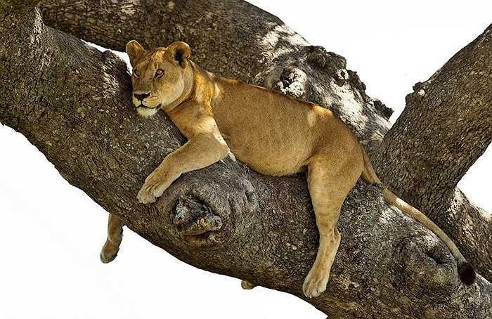 Tùy vào nhiệt độ nóng hay mát mà sư tử chọn lựa giấc ngủ ban ngày hay ban đêm