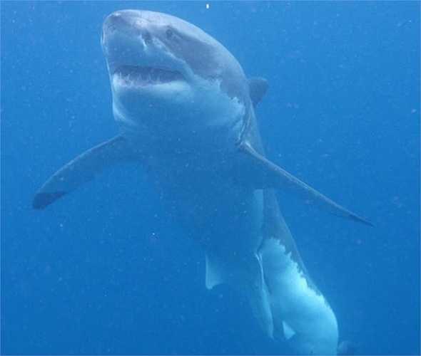 Aqua Sub là lồng kính chuyên dụng được thả từ trên thuyền xuống để du khách ngồi bên trong ngắm cá mập dưới đại dương