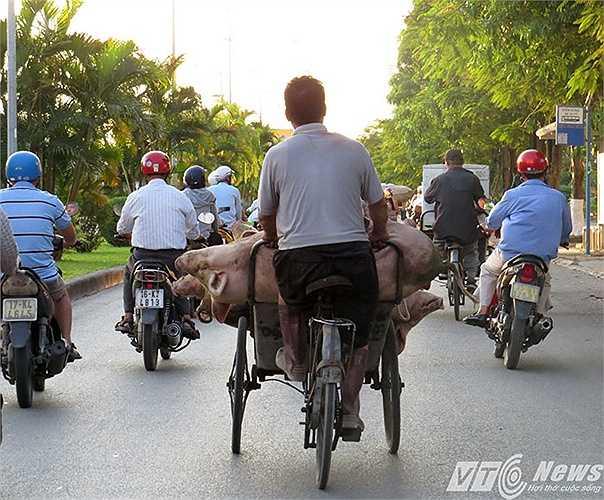 Một chiếc xích lô chở 5-6 con lợn nghênh nganh trên đường Lê Hồng Phong, tuyến đường được cho là đẹp nhất TP Hải Phòng, khiến người đi xe máy phải dạt sang hai bên hoặc vượt lên phía trước.