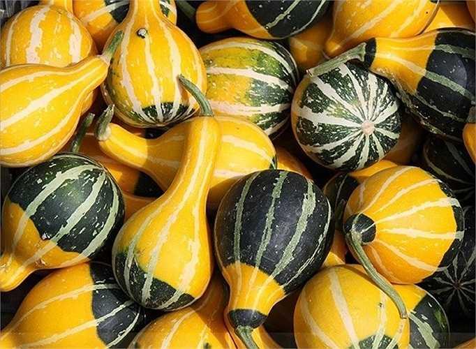 Giống dưa lọ hình dáng khác lạ, chúng có hình giống trái lê, quả trứng hoặc lọ, bình thường thấy trong nhà. Theo những người bán hạt giống ở Hà Nội, dưa lọ thuộc giống ovifera (một loại bí trong dòng bí ngô), thích hợp trồng vào mùa hè.