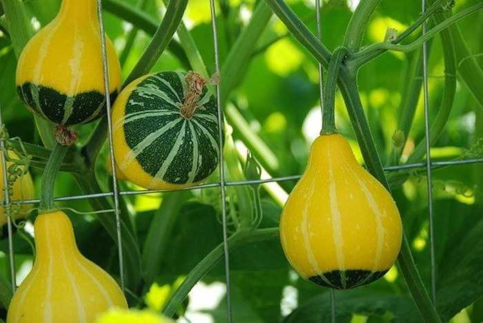 Chúng được trồng phổ biến ở nhiều nước và chủ yếu trồng làm cảnh vì trái không ăn được.