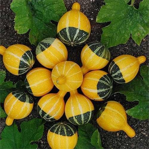 Tại Hà Nội,  giá hạt giống dưa dao động từ 28.000 - 30.000 đồng/gói (10 hạt). Theo những người bán hạt giống, dù phù hợp với thời tiết mùa hè song dưa lọ có thể trồng được cả 4 mùa.