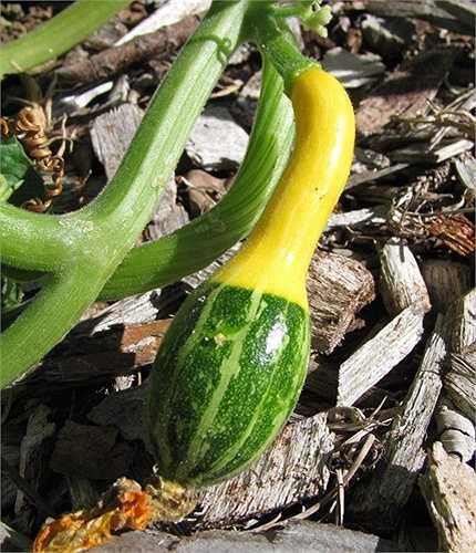 Độ sâu gieo hạt giống khoảng 1cm, khoảng cách giữa các hạt dao động từ 25 - 30cm. Cách trồng dưa lọ tương tự với các loại bí ngô mùa hè thường thấy.
