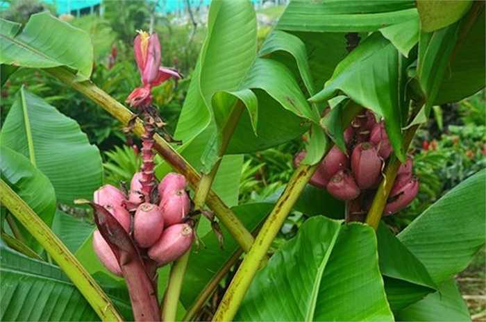 Không ít khách hàng tìm cách mua cây chuối tím hồng này để tự trồng tại nhà. Chị Thái (Hoàng Mai, Hà Nội) cho biết: 'Nếu đặt mua theo nải thì đắt, đành tìm mua giống cây để trồng nhưng đi nhiều cửa hàng cây giống không tìm được vì cây hiếm quá'.