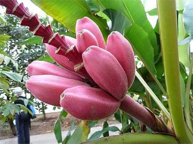 Trên các trang mạng xã hội, nhiều nhà vườn bán cây giống online rao bán cây giống chuối tím với giá 100.000 - 120.000 đồng/cây.