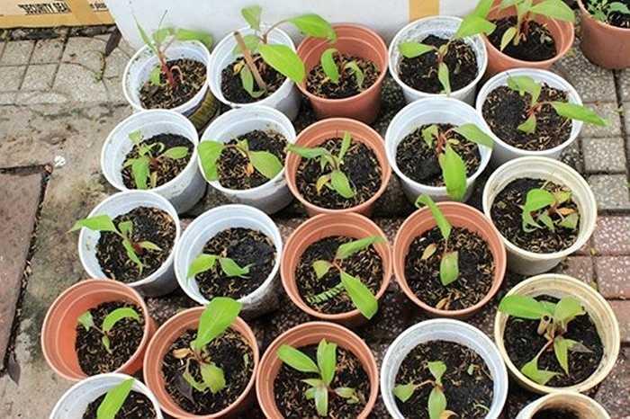 Một số cửa hàng cây, hạt giống giới thiệu dáng cây nhỏ nhắn, có thể trồng trong chậu hoặc trong thùng xốp. Sau khi cây giống được chăm sóc, phát triển sẽ cho quả sau 14-15 tháng. Ảnh: FB Khu vườn ST