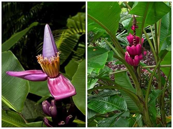 Ngoài trồng lấy quả, chuối tím có thể trồng làm cảnh khá đẹp vì màu sắc của hoa và trái rực rỡ, hút mắt.