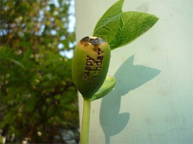 Theo chị Mai (chủ cửa hạt hạt giống ở Nguyễn Trãi, Hà Nội): 'Mặc dù cho lên mầm cây đậu đẹp mắt song việc hạt có nảy mầm hay không phụ thuộc vào việc chọn mua hạt giống tốt. Nên chọn hạt to, chắc, đều, bóng để tránh sâu mọt'.
