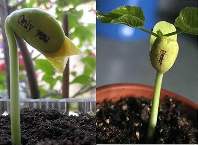 Sau 4,5 ngày hạt sẽ nảy mầm và hạt sẽ tróc lớp vỏ bên ngoài, để lộ hạt mầm màu xanh lá với dòng chữ 'đính kèm'.
