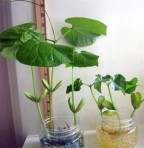 Sau khoảng 3-4 tuần, đậu sẽ ra lá to rất đẹp. Nếu đủ dinh dưỡng, sau 2-3 tháng, đậu có thể ra hoa và quả đậu có thể dài tới 30-50cm. Tuy nhiên, để chúng đạt được điều này, người trồng thường phải chuyển chúng ra trồng vườn hoặc thùng xốp lớn hơn, thay vì trồng trong chậu, bình nhỏ để làm cảnh.