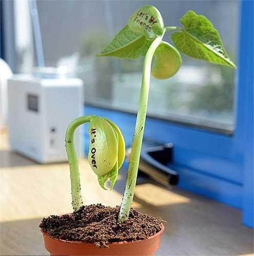 Nếu không gieo trực tiếp hạt vào đất, người trồng có thể gieo hạt vào vải bông hoặc bông y tế để ươm mầm. Mỗi ngày tưới nước 1-2 lần, đợi khoảng 4-5 ngày cây sẽ nhú mầm. Sau đó, dời cây vào chậu đất và trồng bình thường