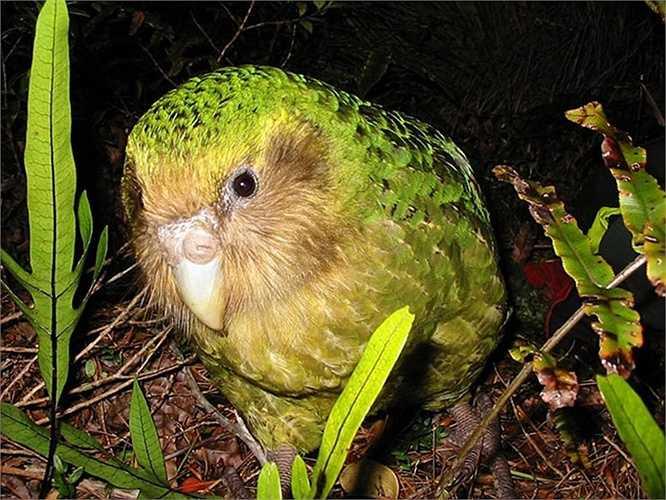 Vẹt Kakapo là loài vẹt không biết bay trên thế giới. Chúng phân bố ở New Zealand nhưng nay chỉ còn lại một số ít khoảng 128 loài sinh sống trên đảo.