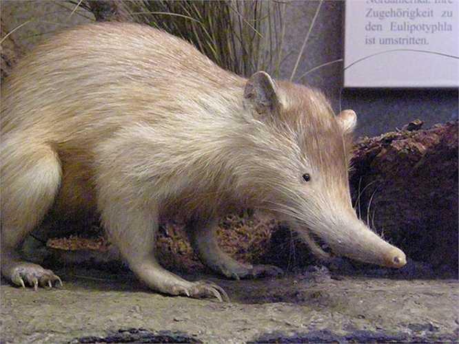 Chuột chù răng khía Solenodons đứng trên bờ vực tuyệt chủng khi có sự xuất hiện của mèo châu Âu và các loài động vật ăn thịt khác.