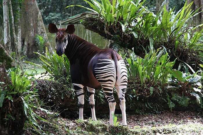Hươu đùi vằn (Okapi) nay có thể tìm thấy ở Cộng hòa dân chủ Congo với số lượng khoảng 20.000 con.