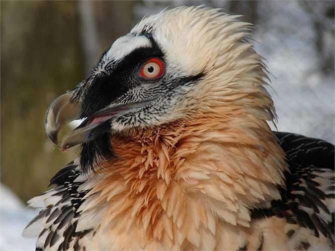 Kền kền râu (Bearded Vulture) nay chỉ còn khoảng 10.000 con tồn tại trên thế giới.