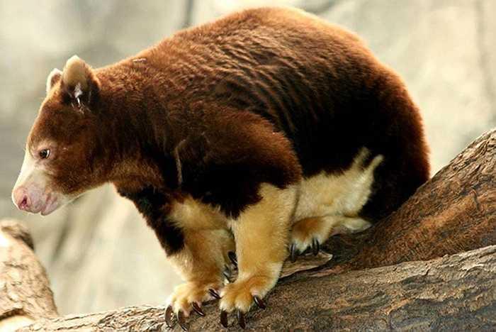 Chuột túi cây (Tree Kangaroo) nay chỉ còn lại khoảng 1% cư trú trên cây nằm trong các khu rừng nhiệt đới New Guinea và Queensland.