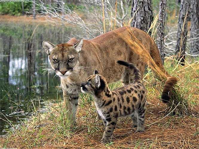 Báo sư tử Florida Panther) là một giống báo cực hiếm còn tồn tại ở miền Nam Florida.