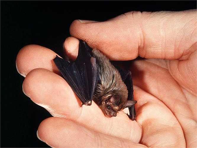 Dơi mũi lợn (Bumblebee Bat) sống chủ yếu ở Thái Lan và Myanmar đang bên bờ tuyệt chủng. Chúng chỉ dài  1,1 inch (2,8 cm) và nặng 2 gram.