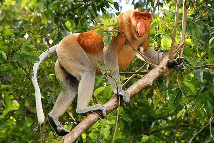 Khỉ mũi vòi (Proboscis Monkey) với chiếc bụng lớn và chiếc mũi dài như vòi voi được tìm thấy rải rác ở đảo Borneo.