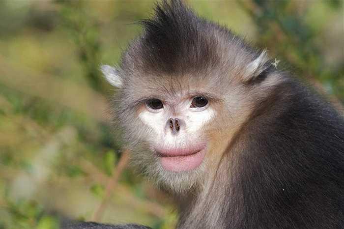 Voọc mũi hếch (Snub Nosed Monkey) được tìm thấy chủ yếu ở ở các khu rừng châu Á.