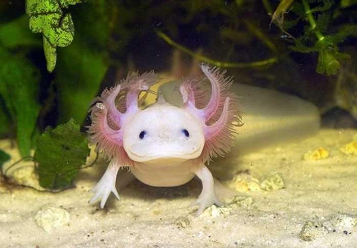 Kỳ giông Mexico (Axolotl) thuộc hàng động vật hiếm có trên thế giới. Người ta đã không tìm thấy bất cứ sinh vật nào từ năm 2013.