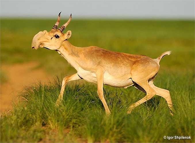 Linh dương Saiga (Saiga Antelope) sống ở vùng thảo nguyên Âu – Á đang có nguy cơ tuyệt chủng nghiêm trọng.