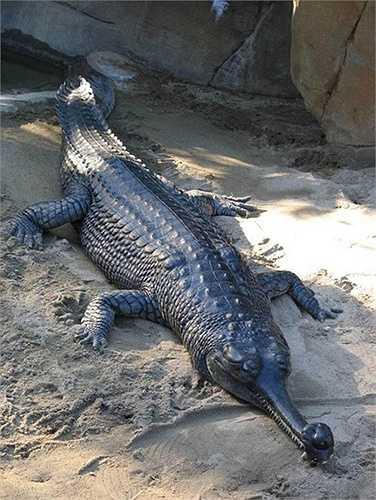 Cá sấu Gharial (Gharial Crocodile) sống chủ yếu ở tiểu lục địa Ấn Độ trở thành mục tiêu săn bắt của nhiều ngư dân nơi đây.