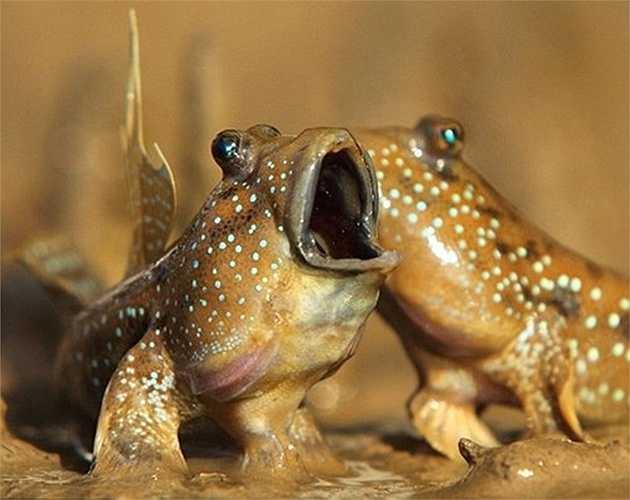Cá thòi lòi khá quen thuộc ở miền Tây. Chúng được dân nhậu cực kỳ ưa thích vì chế biến được nhiều món ngon, lạ. Thòi lòi từng được các nhà khoa học đánh giá là một trong 6 loài động vật kỳ lạ nhất hành tinh, chúng có thể sống cả trên cạn và dưới nước.