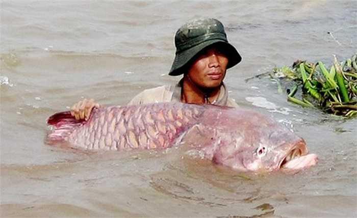 Là một trong những loài 'thủy quái' vì kích thước lớn, cá hô là loài cá có kích thước lớn nhất trong họ cá chép. Đây cũng là một trong những loài quý hiếm, có nguy cơ tuyệt chủng. Loài cá này có thể nặng tới 300kg và rất có giá trị kinh tế. Ngư dân miền Tây từng đánh bắt được loài cá này trên sông Hậu, và bán với giá hơn 1 triệu đồng/kg.