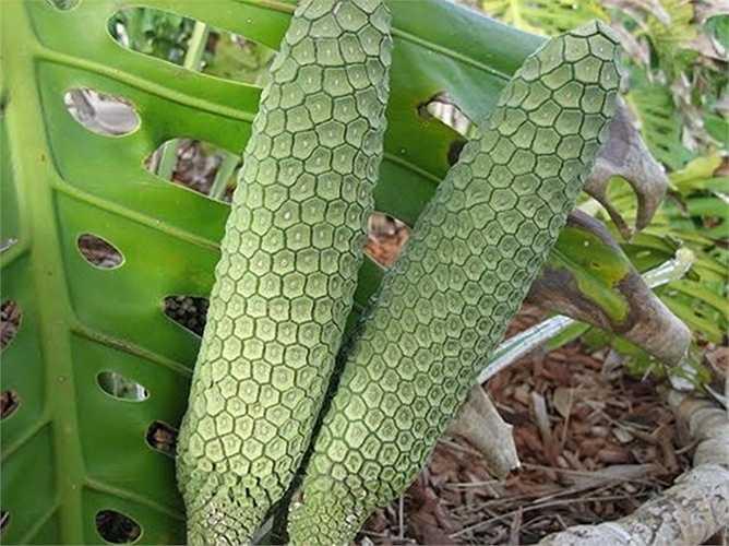 Trong số các loại quả mùa hè độc, lạ, hiếm có khó tìm và ít người biết đến có quả Monstera deliciosa. Hình dáng của chúng giống bắp ngô hơn là một trái cây thông thường.
