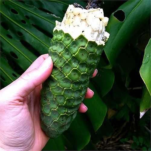 Được mệnh danh là 'quái vật của các loại quả', Monstera deliciosa có độ dài khoảng 30cm với vỏ ngoài bao phủ bởi lớp vỏ với nhiều mắt hình lục giác nhỏ.