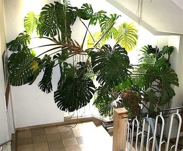 Khảo sát trên các trang mạng online như amazon.com, gardenweb.com, cây Monstera deliciosa bán với giá 6 USD -8 USD (130.000 -175.000 đồng, tùy vào độ tuổi của cây). Giá vận chuyển, đặt hàng cần cộng thêm 8-9 USD (175.000 -195.000 đồng).
