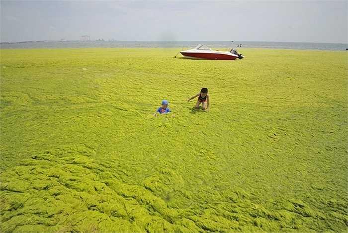 Hai em bé chơi đùa trên bờ biển kín tảo một ngày cuối tháng 6/2015. Ảnh: Reuters   Hiện tượng tảo phủ kín mặt nước được cho là hậu quả của biến đổi khí hậu kết hợp với ô nhiễm công nghiệp tại Trung Quốc. Nhiệt độ nước biển ấm lên cộng với phốt pho và nitrat trong phân bón và rác thải công nghiệp, trở thành điều kiện lý tưởng để tảo sinh sôi và lan rộng nhanh chóng.