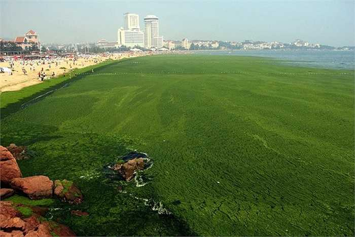 Tình trạng tảo xâm lấn mặt biển Trung Quốc đã xảy ra từ nhiều năm nay. Năm 2013, ước tính tảo biển trải khắp diện tích lên đến gần 19.500 km2, xấp xỉ diện tích của xứ Wales, Anh. Các tình nguyện viên và công nhân vệ sinh đã vớt được khoảng 20.000 tấn tảo bốc mùi hôi thối.    Trong hình là vạt tảo xanh đặc trải rộng mặt biển ở Thanh Đảo được ghi lại ngày 4/7/2013. Ảnh: AFP