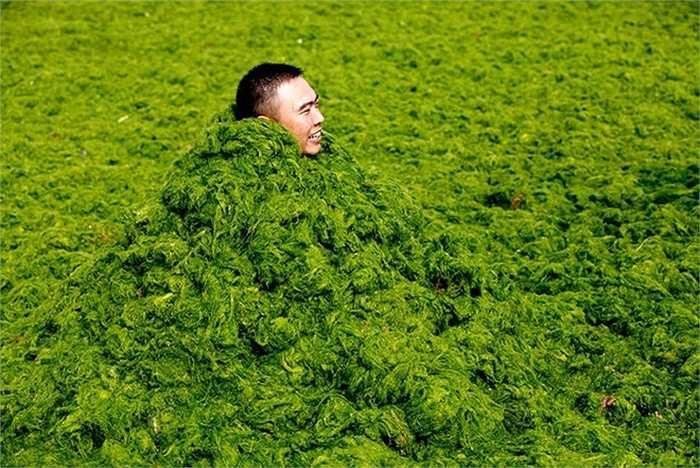 Một người đàn ông vùi mình trong lớp tảo dày khi chơi đùa cùng bạn bè tại biển Thanh Đảo hôm 3/7/2013. Tảo biển được cho là không có hại với con người. Tuy nhiên, với số lượng lớn nó có thể gây nguy hiểm khi phân hủy và sản sinh khí hydrogen sulphide độc hại. Lớp tảo dày cũng hút hết oxy trong nước khiến các động vật biển ngạt thở. Ảnh: AFP
