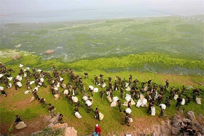Trước đó, tảo tấn công khiến chính phủ Trung Quốc phải huy động cả lực lượng quân đội dọn dẹp vùng biển Thanh Đảo, nơi tổ chức đua thuyền trong khuôn khổ Olympic Bắc Kinh 2008. Ảnh: Reuters