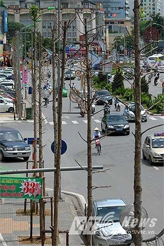 Dọc theo tuyến đường Nguyễn Chí Thanh hàng cây gỗ mỡ vừa được trồng thay thế hàng cây cổ thụ trước đây nay đang trong tình trạng chết khô.