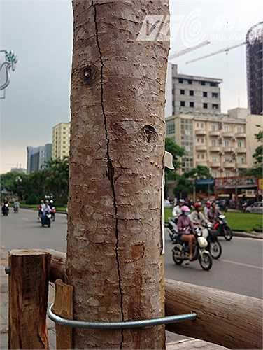 Nhiều thân cây ở trên con đường này xuất hiện những vết nứt dài, những cây khác bị bong tróc vỏ, chết khô và hầu như không ra lá.