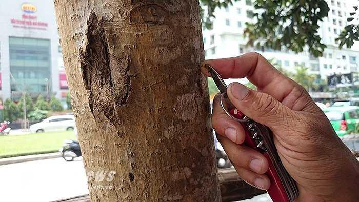 Một vài người xe ôm trên đường Nguyễn Chí Thanh còn bức xúc, lấy dao khía nhẹ vào vỏ những thân cây mỡ thì lộ ra cây đã chết khô tới tận trong lõi.
