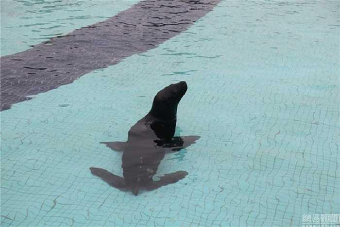 Chú hải cẩu may mắn có vẻ quá sung sướng với bữa tiệc sinh nhật ra trò nên từ chối lên bờ mà cứ mãi bơi lặn dưới bể bơi.