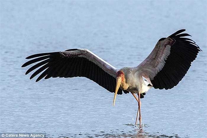 Con cò một mình sải cánh, bước chân đi tìm thức ăn ven hồ. Nhưng khi nó đi lại thong dong đã thu hút sự chú ý của cá sấu đang đói bụng