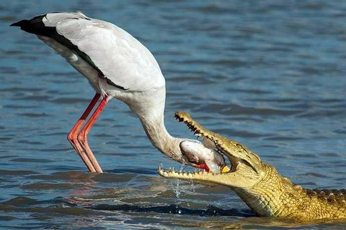 Nhưng con cò cũng đâu phải vừa, nó sẵn sàng cho chiếc mỏ dài và nhọn vào hàm răng cá sấu để lấy lại phần thức ăn thuộc về mình